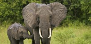 Pourquoi les éléphants n'ont pas le cancer ?