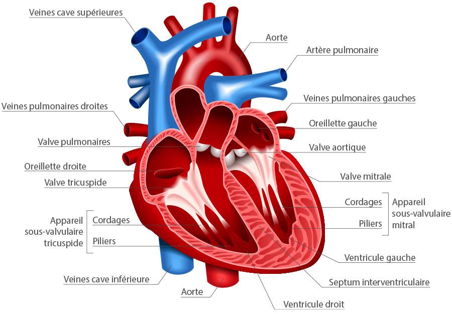 structure anatomique du cœur