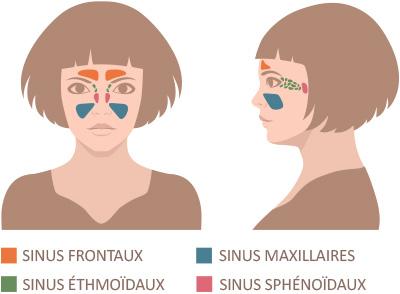 Quatre paires de sinus