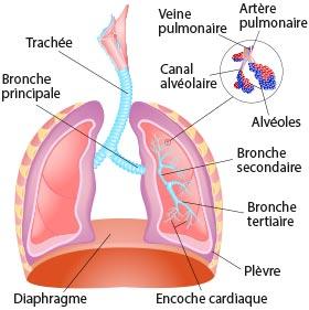 schéma bronchioles