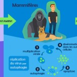 Infographie : transmission du virus Zika