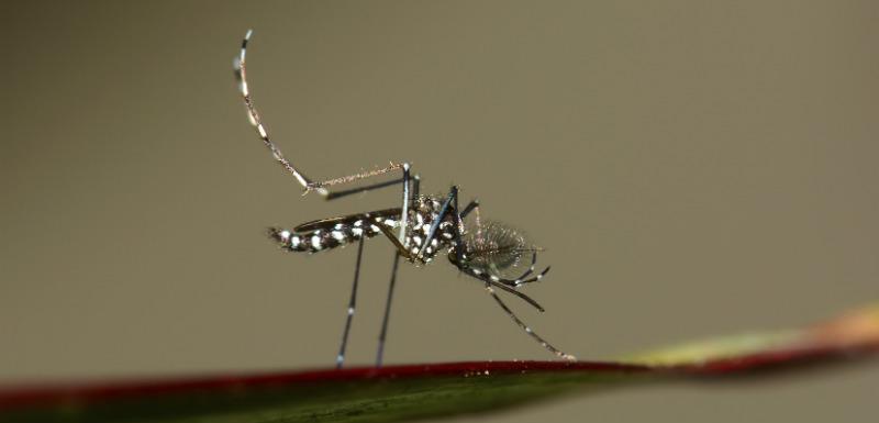 Tout savoir sur le moustique tigre et le virus Zika