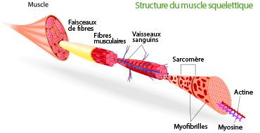 structure d'un muscle