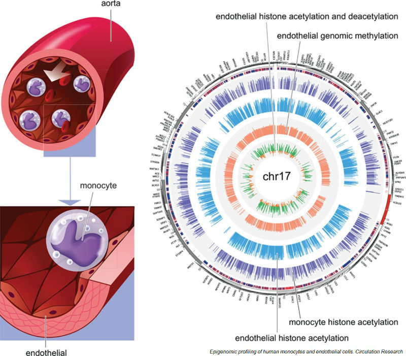 monocytes-endothelial-cells-epigenetic