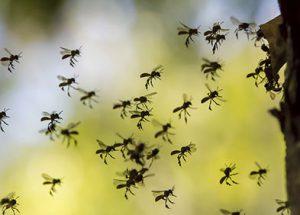 Piqûres d'hyménoptères et d'insectes