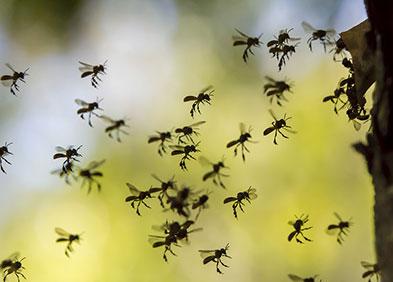 Groupe d'abeilles
