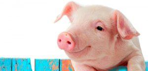 Bientôt des cochons porteurs d'organes humains