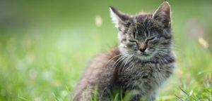 Toxoplasmose : le chat représente-t-il vraiment un danger ?