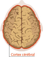 cortex cérébral