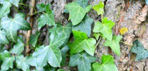 Le lierre : une plante pas si attachante