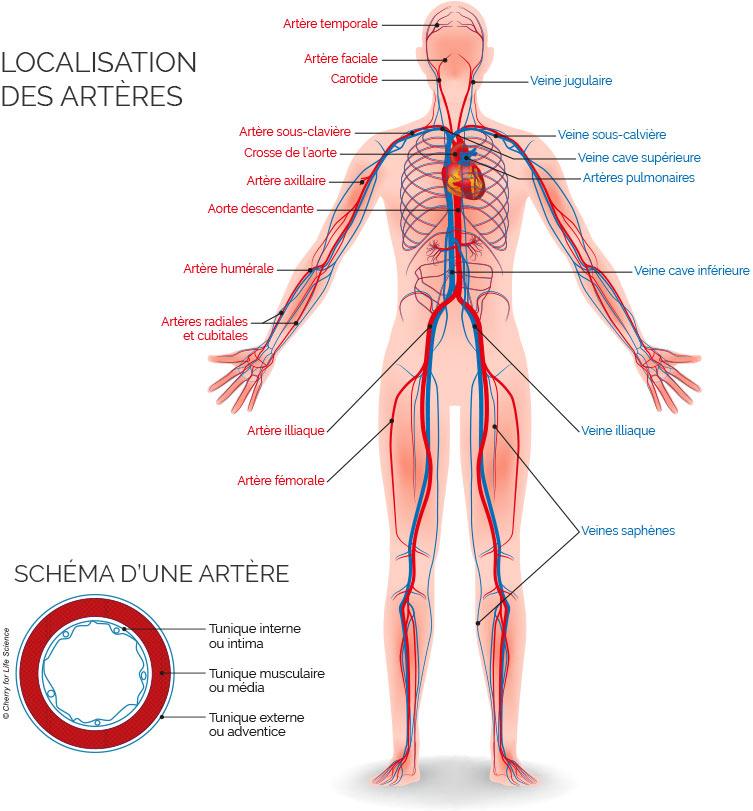 Schéma de la localisation des artères