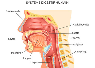 cancer vads systeme digestif humain