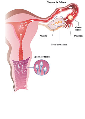 insemination artificielle ovulation