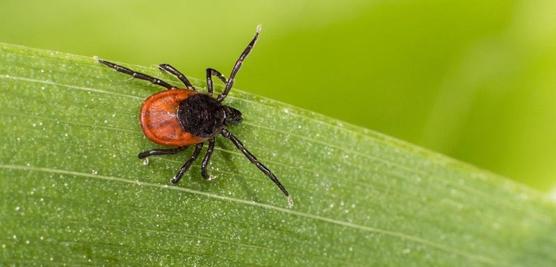 Maladie Lyme - piqûre de tique