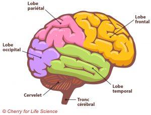 Anatomie cérébrale