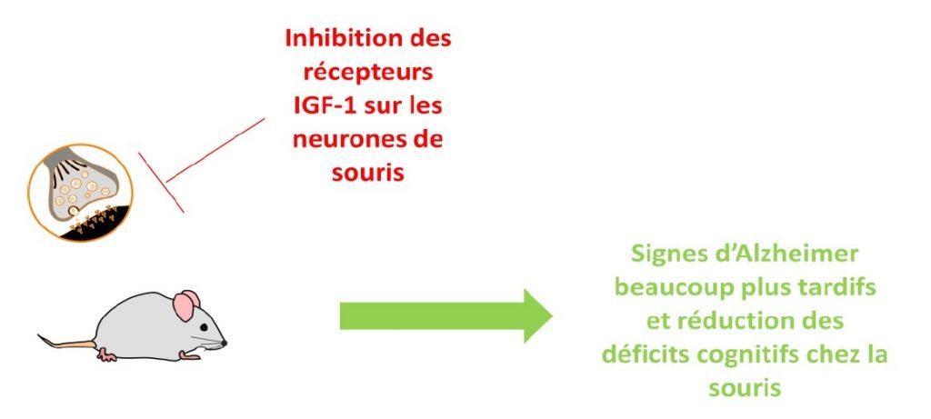 Inhibition des récepteurs IGF-1 sur des neurones de souris