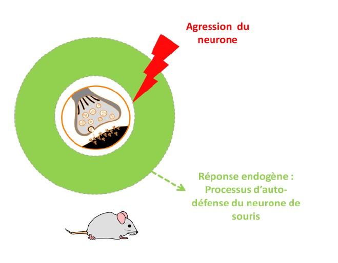 Processus d'auto-défense du neurone de souris