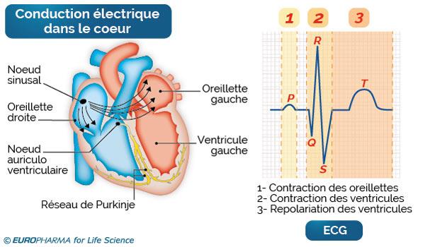 conduction électrique cœur