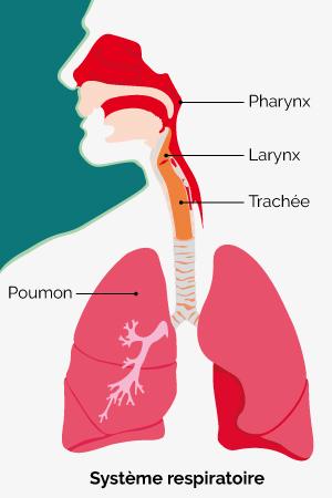 Voies respiratoires