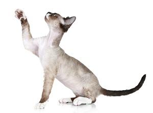 allergie aux poils de chats sant sur le net. Black Bedroom Furniture Sets. Home Design Ideas