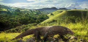 Résistance aux antibiotiques : le dragon de Komodo à la rescousse?