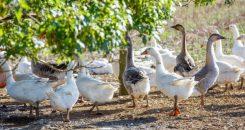 Doit-on craindre la grippe aviaire?
