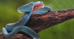 Nouvel antidouleur : le venin de serpent corail bleu