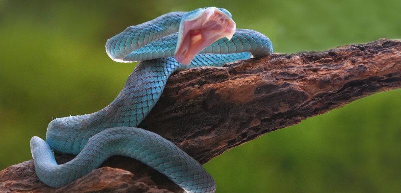 Serpent Corail Bleu Son Venin Pourrait Etre Utilise Comme Antidouleur