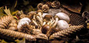 Un champignon comestible pour lutter contre les maladies génétiques