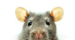 Les rats domestiques : vecteurs de la leptospirose