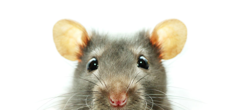 rats domestiques leptospirose