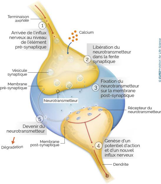 schéma synapse chimique