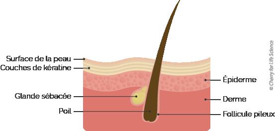 follicule pilo-sébacé