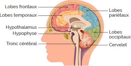 schéma anatomie du cerveau