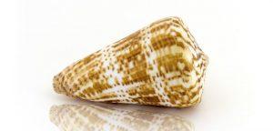 Des toxines de coquillages marins pour soulager les douleurs