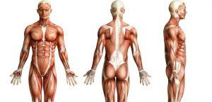 Découverte d'un nouvel organe disséminé dans tout le corps : l'interstitium