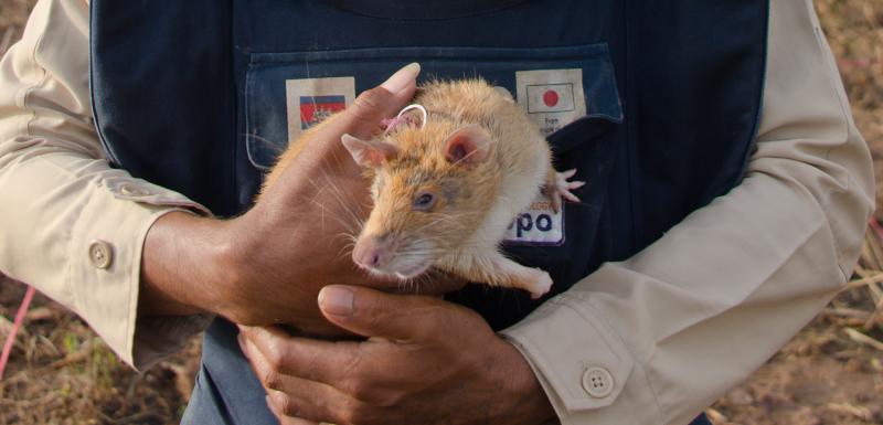 rats géants de gambie pour dépister la tuberculose