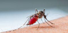 Dengue à la Réunion : vers une épidémie majeure ?