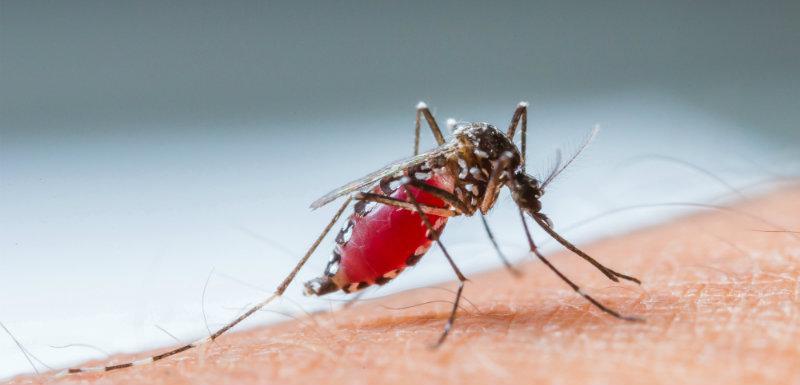 moustique s'apprêtant à piquer - dengue