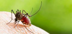 Vigilance face aux moustiques tigre