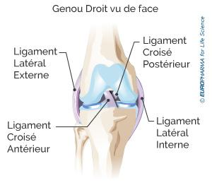 Illustration d'un genou droit vu de face et de ses ligaments