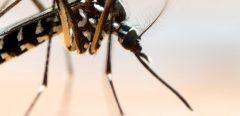 Moustique tigre : les Hauts-de-Seine et le Val-de-Marne lancent l'alerte rouge