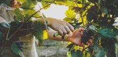 Quels sont les intérêts nutritionnels du raisin ?