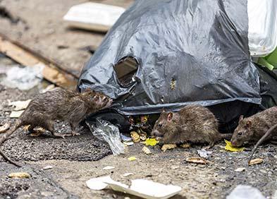 rats responsables de fièvres hémorragiques virales