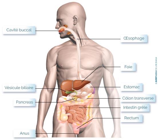 système-digestif