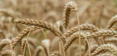 Allergie au blé: résultats encourageants de l'immunothérapie orale