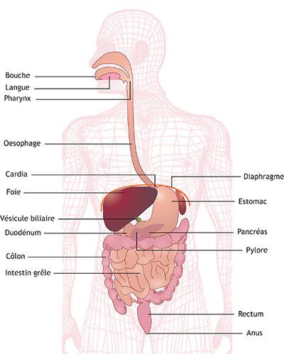 Système digestif et cancer de l'estomac