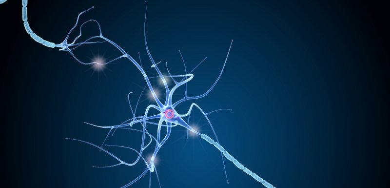La nestine, une protéine clé dans la plasticité neuronale