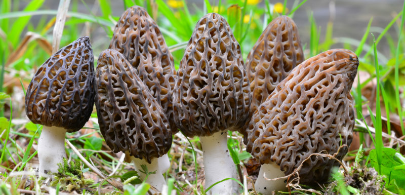 attention-morilles