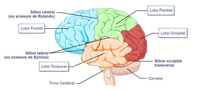 Hemisphères cérébraux